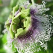 Passion Flower - Purple Giant - 30 seeds